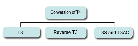 Conversion of T4 hormone