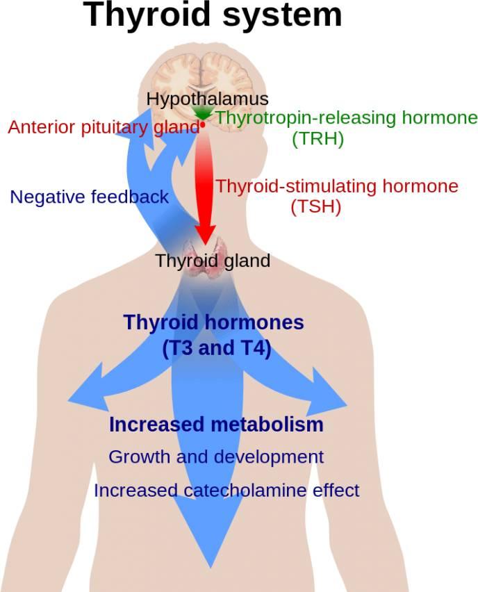 thyroid-hormone-opt